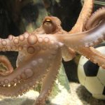 Paul the octopus died