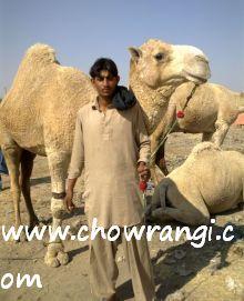 camel wala