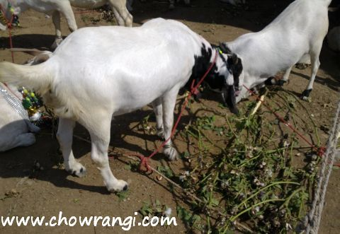 goats eating cotton at Bakra Mandi