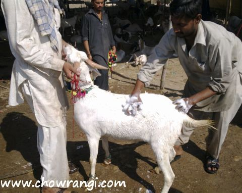 goat washing